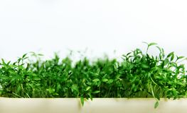 Greens, parsley seedlings in the garden planting in open field.  Stock Photo
