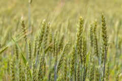 Greens of ripening wheat ears. Agricultural plantation background with limited depth of field. Close-up of cereal field Stock Photos