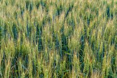 Greens of ripening wheat ears.  Fragment of green field. Agricultural plantation background with limited depth of field Stock Photos