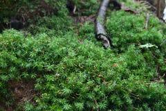 Greens on a stump. Wood stump tree moss greenery mildew trunk spring mossy woody Royalty Free Stock Photo