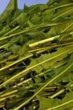 Greens van Dandalion Close-up Royalty-vrije Stock Fotografie