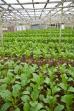Greens van de mosterd bij plantaardig landbouwbedrijf Stock Foto