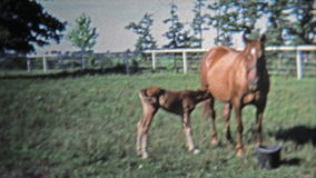 GREENSBORO, NC -1973: Mother and baby horse stay close to keep safe. Unique vintage 8mm film home movie professionally cleaned and captured in 4k (3840x2160 UHD stock video footage