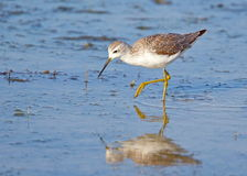 Greenshank Royalty Free Stock Photo