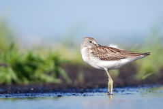 Greenshank cleaning feathers Royalty Free Stock Image