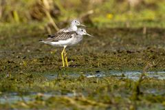 Greenshank Pair on mud Stock Photography