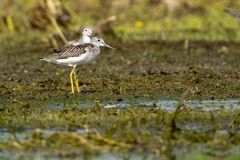 Greenshank pair on shore Stock Images