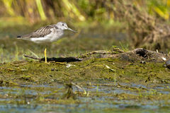 Greenshank resting Royalty Free Stock Photo