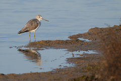 Greenshank (Tringa nebularia) Stock Photography