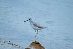 A wading bird, greenshank on mudflats in Cornwall England royalty free stock photo