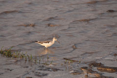 Greenshank wading Royalty Free Stock Photos