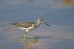 Greenshank wading in water Stock Photography
