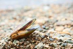 Greenshell Miesmuschel auf einem Strand Lizenzfreie Stockbilder