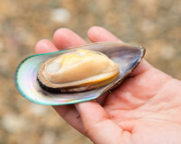 Greenshell mussel Royalty Free Stock Image