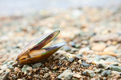 Greenshell mussel on a beach Royalty Free Stock Images