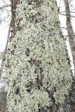 Greenshield liszaj dołączający barkentyna drzewo w Rangeley, Maine obrazy stock