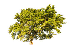 Greensummer oak tree isolated on white Stock Photos