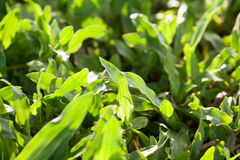 Greensward, grass Royalty Free Stock Photography