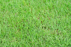 Greensward. Green grass background and textured Royalty Free Stock Photo