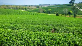 greentea de thé de jardin Images stock