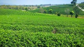 greentea do chá do jardim Imagens de Stock