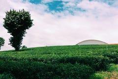 Greentea field. In Chaingrai in Thailand Stock Photography