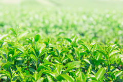 Greentea leaves. Green tea plant agricuture field for background Stock Images