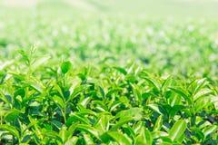 Greentea liście Obrazy Stock