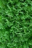 GreenThuja occidentalis background stock image