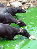 Greenwater Buffalos Royalty Free Stock Images