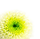 Greenwhite flower. A Chrysanthemum with copy space Stock Photography
