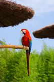 Greenwing Macaw. Exotic tropical parrot in the park Stock Photos