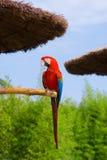 greenwing macaw Arkivfoton