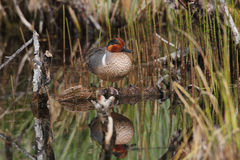 Greenwing Teal Royalty Free Stock Photos
