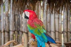 Greenwinged ара Стоковая Фотография