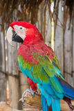 Greenwinged ара Стоковые Фотографии RF