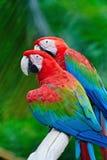 Greenwinged ара Стоковая Фотография RF
