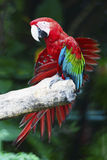 Greenwinged ара Стоковые Фото