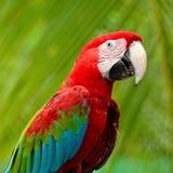 Greenwinged Macaw Royalty Free Stock Image