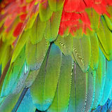 Greenwinged Macaw feathers Stock Image