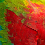 Greenwinged Macaw feathers Stock Photography