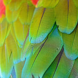Greenwinged Macaw feathers Royalty Free Stock Images