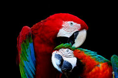 Greenwinged Macaw and Harlequin Macaw Royalty Free Stock Images