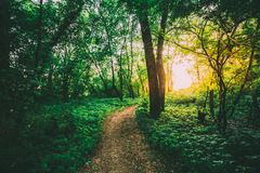 Greenwood Path Going To Sunset Through Growth Of Small-Flowered Touch-Me-Not, Impatiens Parviflora. The Summer Landscape With Forest Path Going Ahead To Sunset royalty free stock image