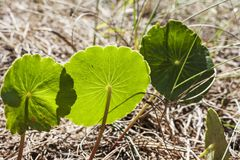 Greeny baby green. Baby Leaves in Necochea`s forest city royalty free stock photography