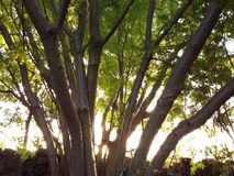 A greeny  branched tree. The image shows a wonderful moment that the Sun set behind a multibranched tree Stock Photography