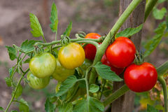 Greeny cherry tomatoes - A bunch unripe cherry tomatoes in a gre Stock Photography