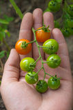 Greeny cherry tomatoes - A bunch unripe cherry tomatoes on hand Royalty Free Stock Image