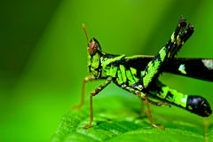 Greeny Grasshopper THAILAND royalty free stock images