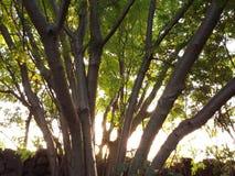 Greeny kilkuramienny drzewo fotografia stock